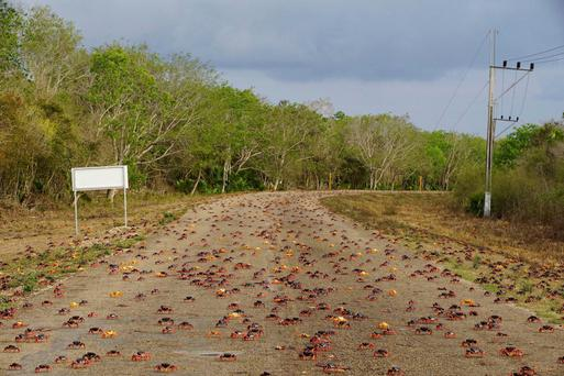Crabs cross a highway on their way to spawn in the sea in Playa Giron, Cuba. Photo: Reuters