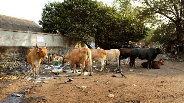 Cows are considered sacred by Hindus and eating beef is taboo
