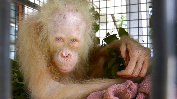 The albino orangutan sits in a cage at a rehabilitation centre in Indonesia (Indrayana/BOSF via AP)