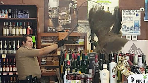 Bottles tumble as an animal control officer attempts to net a female peacock that wound up inside the Royal Oaks Liquor Store in Arcadia, California (Rani Ghanem/AP)