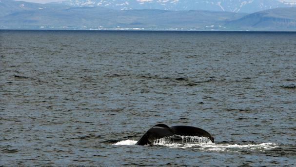 The regulation was designed to reduce the numbers of humpback whales and other large creatures that accidentally become tangled in mile-long nets