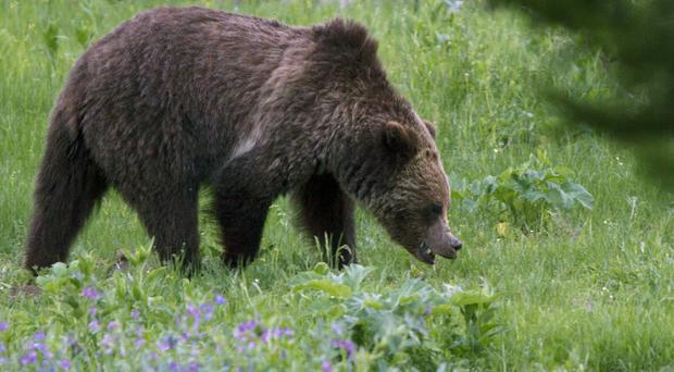 Yellowstone grizzly bears removed from endangered species list