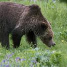 A grizzly bear roams near Beaver Lake in Yellowstone National Park (Jim Urquhart/AP/PA)