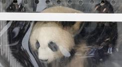 Giant panda Meng Meng looks out of its container after arriving in Germany from China