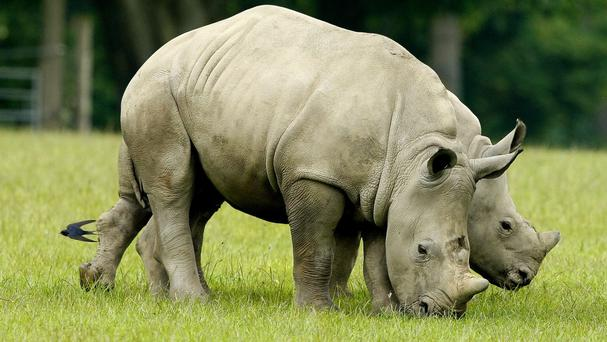 South Africa has nearly 20,000 rhinos, representing 80% of Africa's population