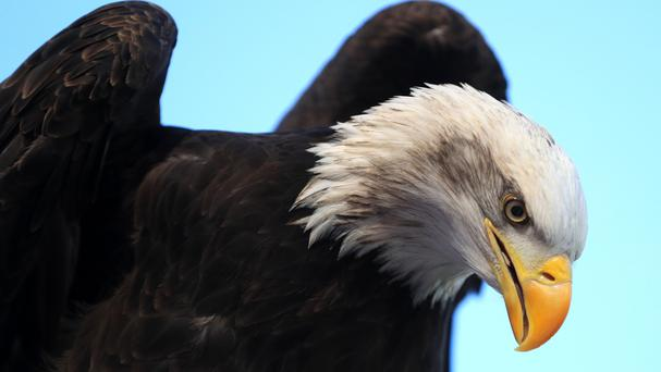 The bald eagle is an iconic symbol of the United States