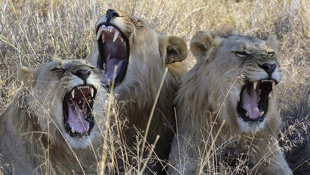 The move has alarmed critics who believe the policy threatens Africa's wild lions (AP)
