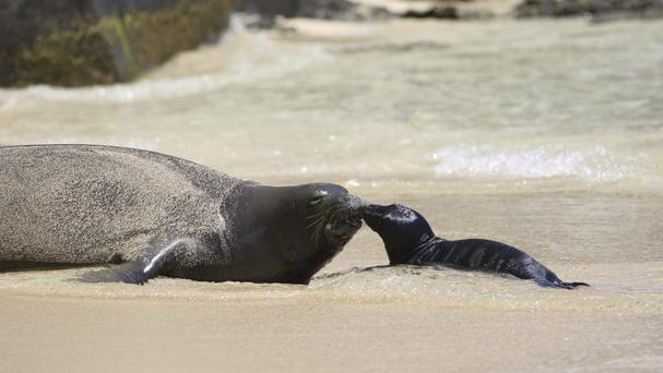 The Hawaiian monk seal and her newborn pup share a tender moment (AP)