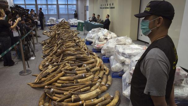 Ivory tusks on display after being confiscated by Hong Kong customs (AP)
