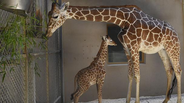 Baby giraffe, Julius, and his mother, Kesi, at the zoo in Baltimore (Jeffrey F. Bill/The Maryland Zoo via AP)