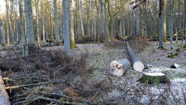 The EU is taking legal action against Poland for allowing continued and increasing logging in the Bialowieza forest (AP)