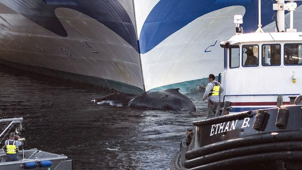 Humpback whale found dead on cruise ship's bow in Ketchikan