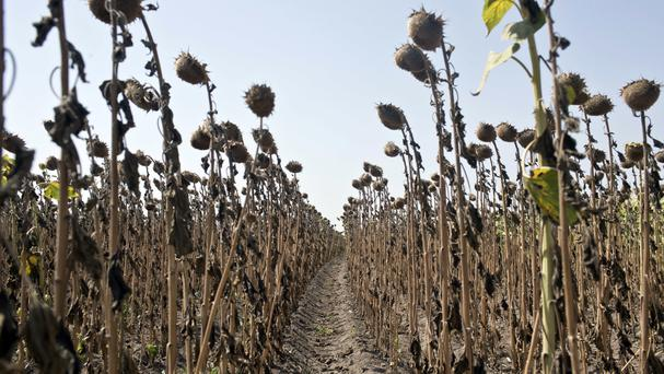 Sunflowers decimated by drought are seen in a field in Padina, Serbia (Marko Drobnjakovic/AP)