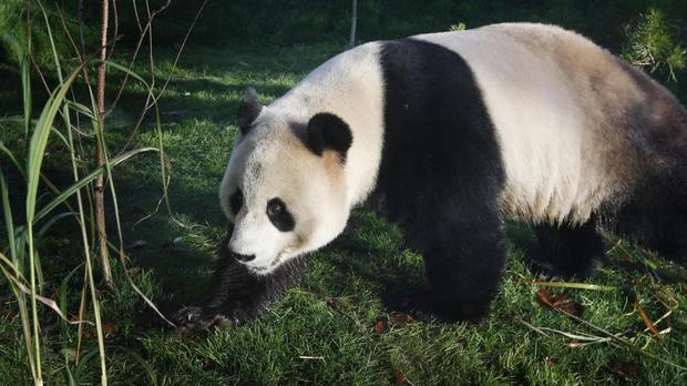 Pandas are generally considered old after reaching 20