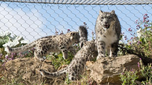 Snow leopards are no longer considered endangered