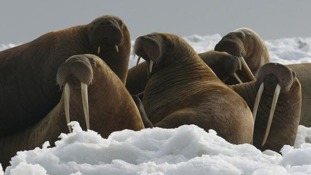Undated photo provided by US Fish and Wildlife showing walrus cows and yearlings resting on ice in Alaska (AP)