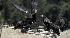 California condors huddle around a watering hole (AP)