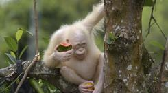 The five-year-old orangutan cannot be released into the wild due to health issues related to her albinism (BOS Foundation/AP)