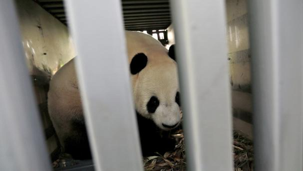 China's giant pandas Cai Tao and Hu Chun arrive in Indonesia