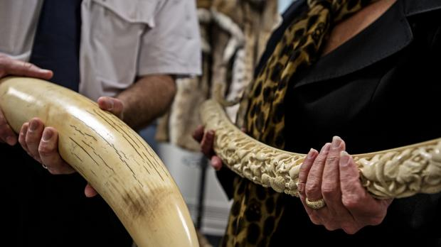 A raw elephant tusk and carved ivory following a seizure at London's Heathrow Airport