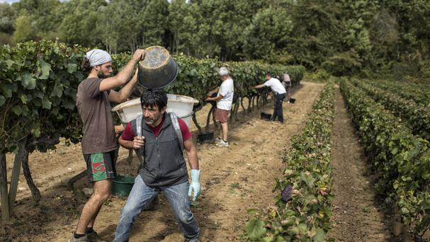 Workers collect red grapes in a burgundy vineyard in Volnay, central France (AP)