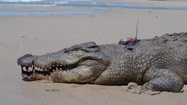 Anne Cameron is feared to have been eaten by a crocodile (file photo)