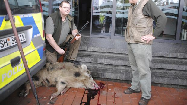 One of the boars was shot in the center of Heide, northern Germany (AP)