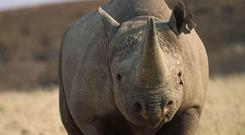 A rhino injured a poacher in Namibia (IUCN)
