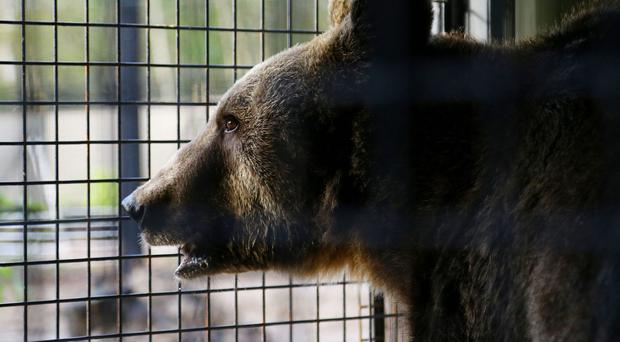 Man and girl injured in bear attack in central Romania