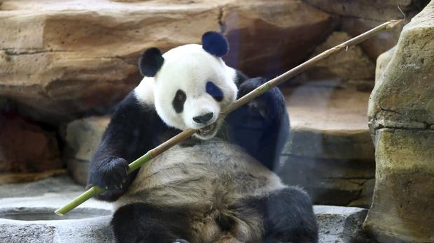 A giant male panda from China named Cai Tao enjoys a bamboo branch at the Taman Safari Indonesia zoo in Bogor (AP)