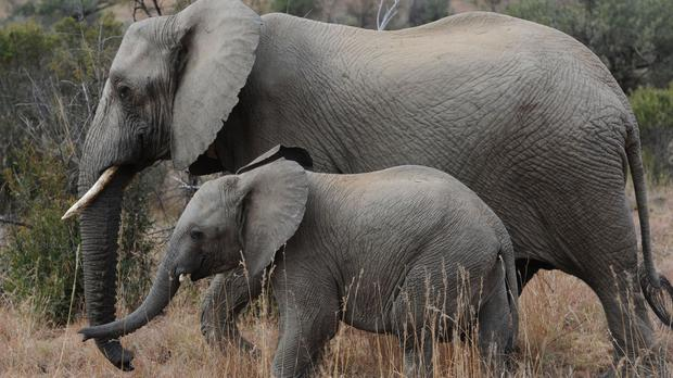 Illicit demand for elephant ivory has led to devastating losses from illegal poaching