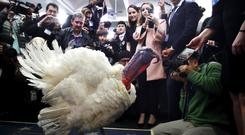Wishbone, one of two turkeys pardoned by President Trump. (AP)