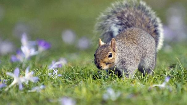 A squirrel has been blamed for damage to a Christmas display