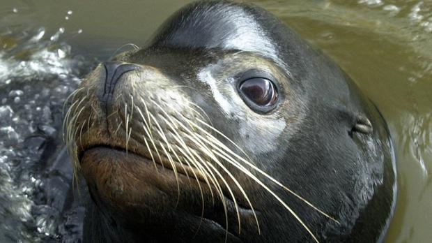 Sea lion assaults swimmer in San Francisco Bay