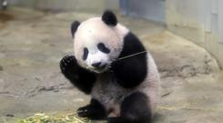 Female giant panda cub Xiang Xiang eats bamboo during a press preview at the Ueno Zoological gardens in Tokyo (AP)