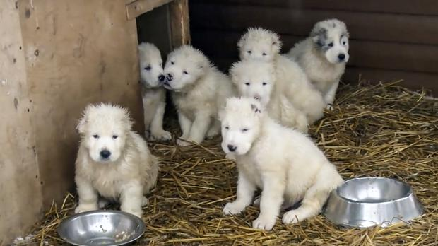 Puppies at a dog breeding centre in Knyazhevo, north of Moscow (Russian Defence Ministry Press Service/AP)
