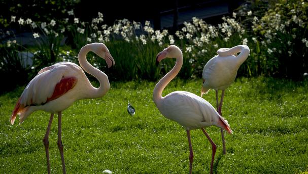 Flamingos in the sun at the Roof Gardens in Kensington (PA)