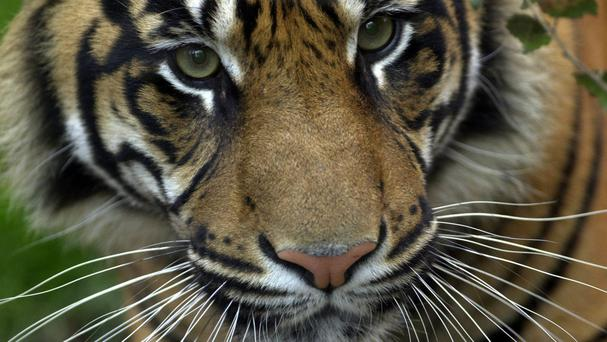 The animal is a rare Sumatran tiger, like the one pictured