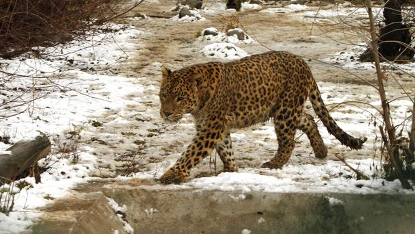 A leopard at the Dachigam National Park on the outskirts of Srinagar, amid reports that the animals have killed three children in a series of attacks (AP Photo/Mukhtar Khan, File)