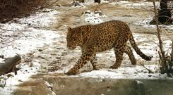 Leopard (AP Photo/Mukhtar Khan, File)