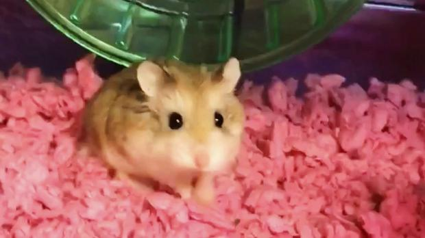 Airline told me to flush pet hamster, claims Florida woman