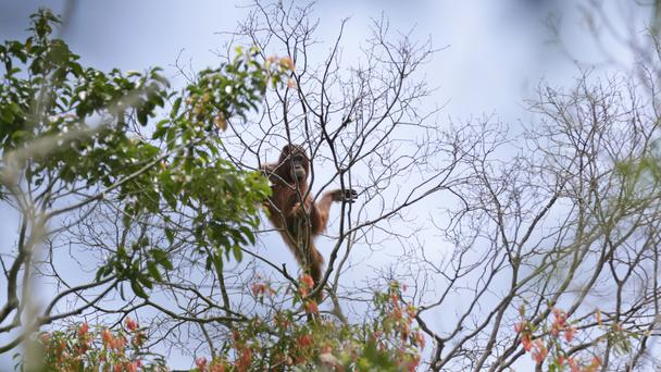 The most comprehensive study of Borneo's orangutans estimates their numbers have plummeted by more than 100,000 since 1999 (AP)
