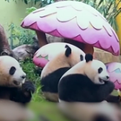 Panda triplets enjoy some new year treats (CCTV/AP)