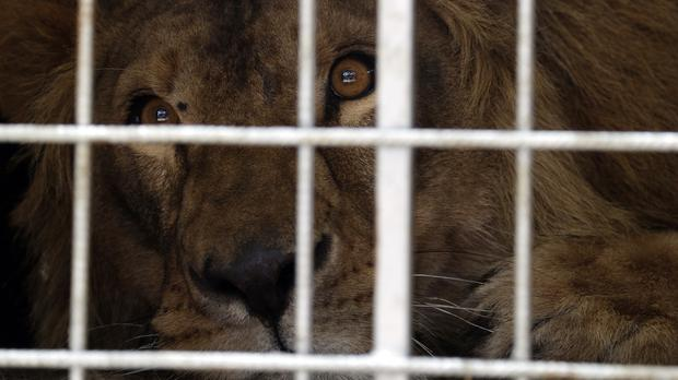 Saeed was rescued from Syria by the animal rights group Four Paws (AP)