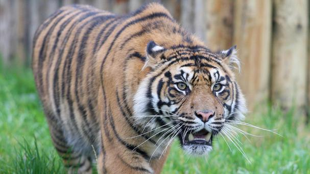 Sumatran tigers are the most critically endangered tiger subspecies (Paul Faith/PA)