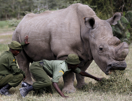Wardens assist 'Sudan' as the northern white rhino grazes at the Ol Pejeta Conservancy in Laikipia national park, Kenya. Photo: Reuters