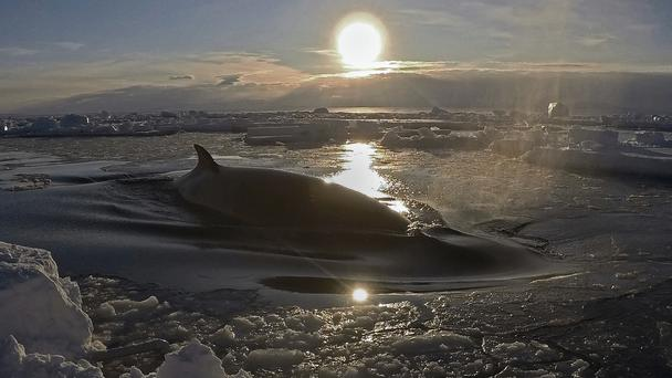 A minke whale floats to the surface through the ice in Antarctica (Regina Eisert/University of Canterbury via AP)