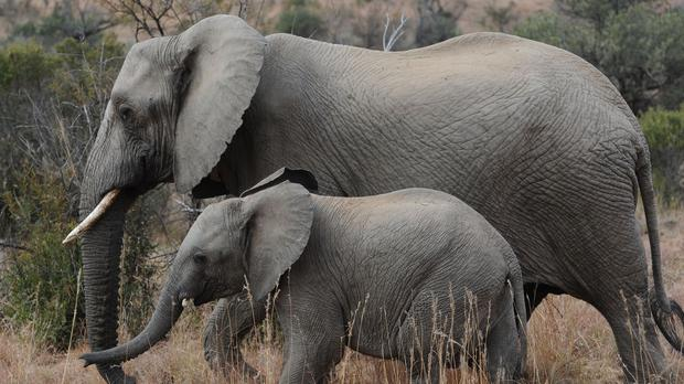 There are around 82,000 elephants in Zimbabwe (Owen Humphreys/PA)