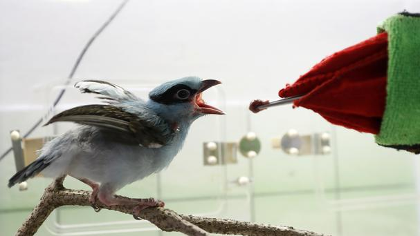A keeper using a glove puppet imitating a parent feeds a baby critically endangered Javan green magpie in Prague, Czech Republic (Petr David Josek/AP)
