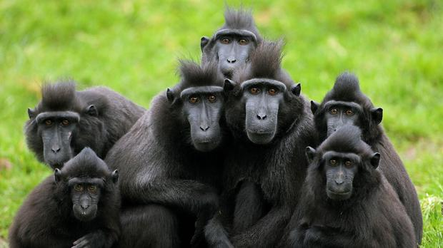 The selfie was taken by a solo crested macaque, whereas this group posed for a professional photographer (PA)